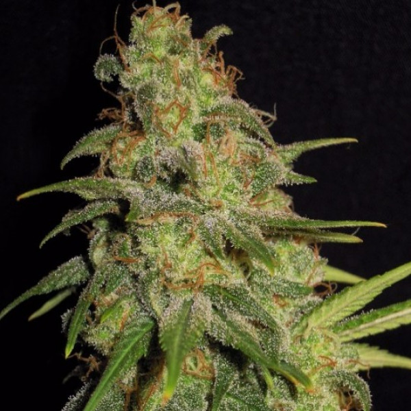 Black Widow (Feminized)