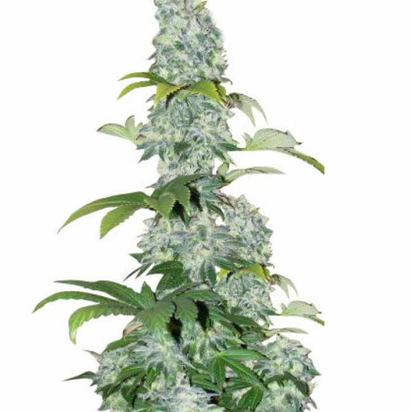 Black Domina (Feminized )