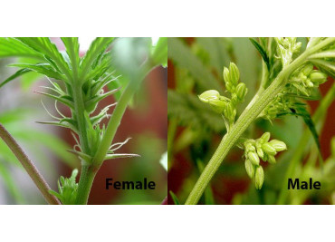 How to determine the gender of cannabis