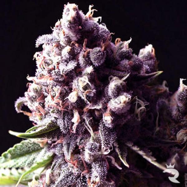Purple (Auto)