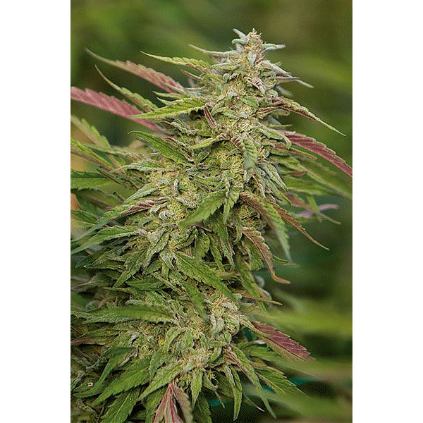 Purple Trainwreck Feminized