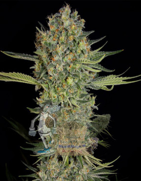 Serious Kush Feminized