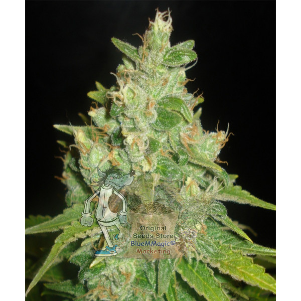 Sugar Black Rose Feminized