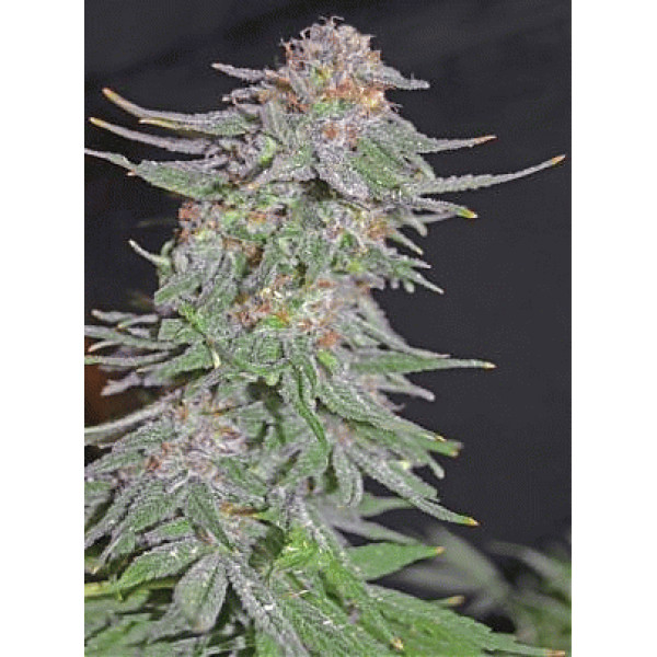 White Widow x AK-47 Early Version (Feminised)
