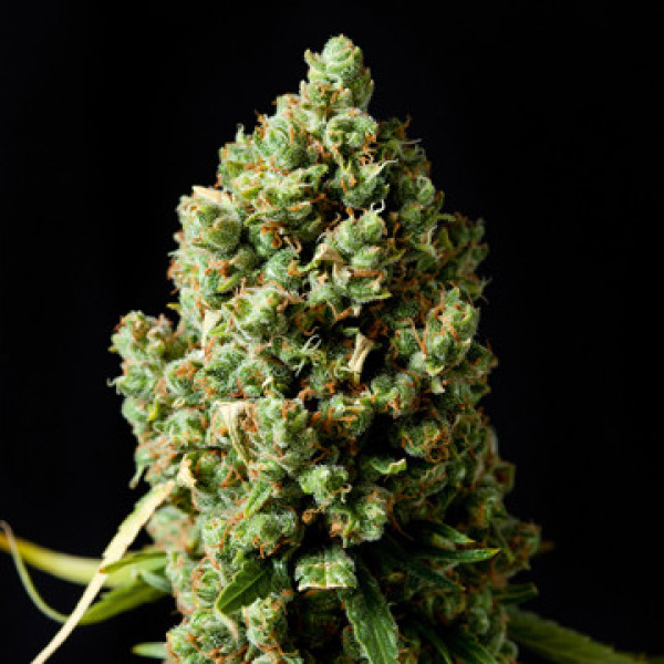 Critical Kush (Feminized)